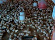 Venta de pollonas isa brown
