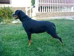 cachorros rottweiler 2 meses de nacidos puros