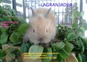 Conejos enanos cabezas de leon en venezuela lagranjadea