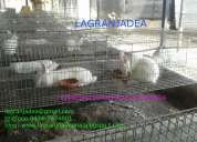 Conejos para pie de cria. razas de carne nueva zelanda y californias puros lagranjadea