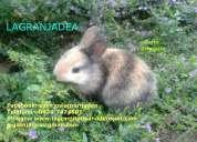 Conejos mini enanos en venezuela lagranjadea whatsapp 04247474801