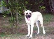 Vendo cachorros de fila brasilero puros