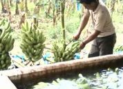 Parcela  de cultivo en produccion de banano