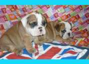 Cachorros de bulldog ingles con pedigree