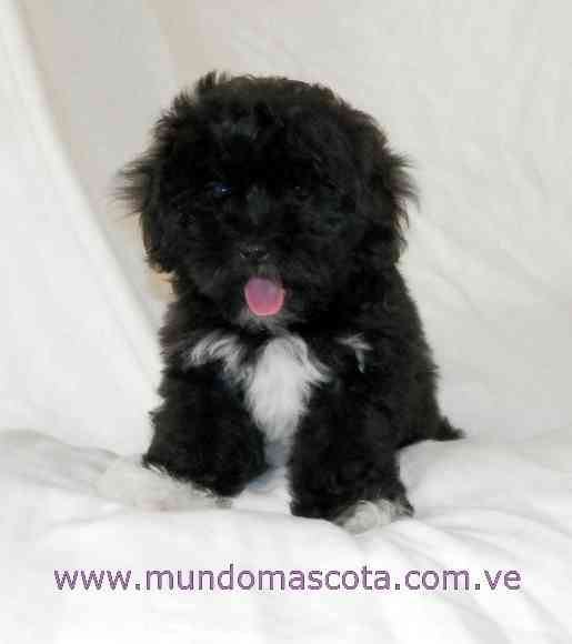 Perros de razas pequeu00f1as - Barcelona - Animales