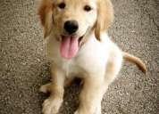 Vendo cachorro golden retriever macho con un mes y medio de nacido