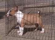 Cachooro bull terrier en venta con registro fcv , pedigri y microchip