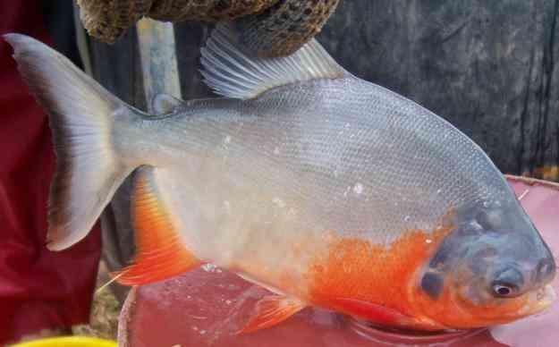 Alimentos balanceados para peces cachamas y pargos de for Alimento para cachamas