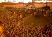 Vendo  pollonas gallinas ponedoras llamar 424-970-4011