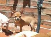 Chihuahua macho