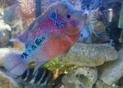 Vendo flower horn red dragon 30cm macho