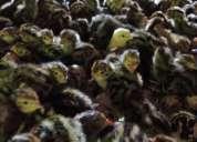 codorniz codornices pollitos