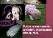 cachorros poodle mini toy
