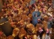 Proyecto de gallinas ponedoras,galpones, planos,camion