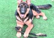 Excepcionales cachorros de pastor alemán con pedigree
