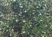 Se vende parcela con matas frutales en produccion